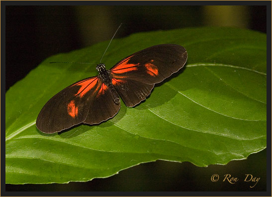 Butterfly (Heliconius)